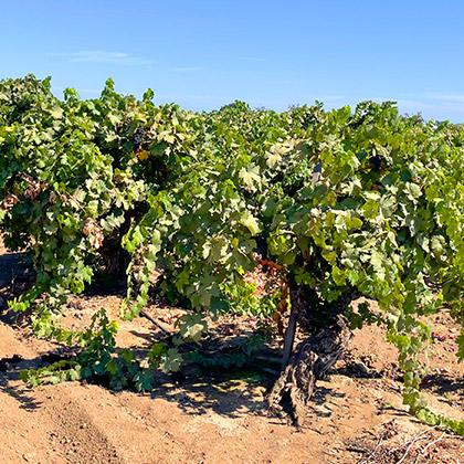 Zindandel Vineyards