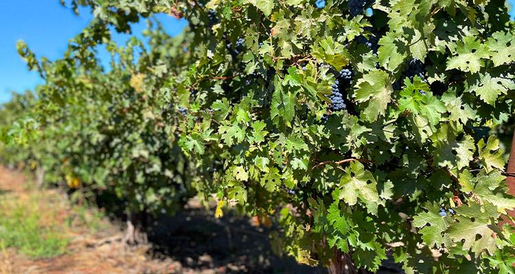 Lodi Zindandel Vineyards