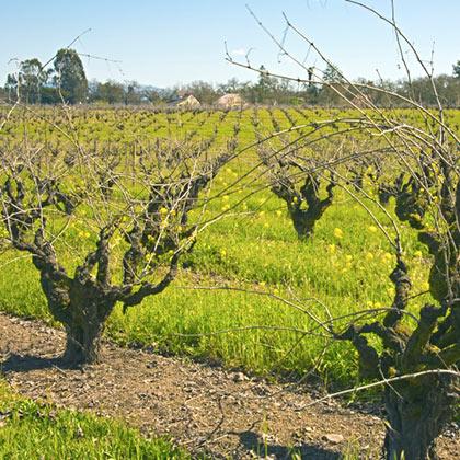 Zindandel Old Vine Vineyards