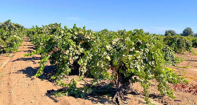 Sierra Foothills Zindandel Vineyards
