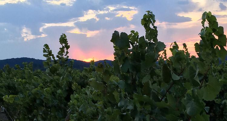 Mendocino Zindandel Vineyards